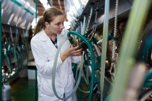Woman working at milking line